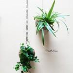 Ficus repens et chlorophytum Plant&NousOK